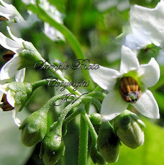 20 Seeds Garden Huckleberry Tropical White Flowers Certified Etsy