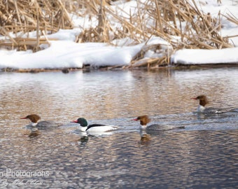 Merganser Ducks Photograph