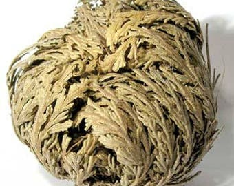 6pk Bulk Jericho Flowers Dried, Jericho Flower Wholesale 6 Pieces, Selaginella Lepidophylla Bulk Herb, Rose of Jericho, Resurrection Flower