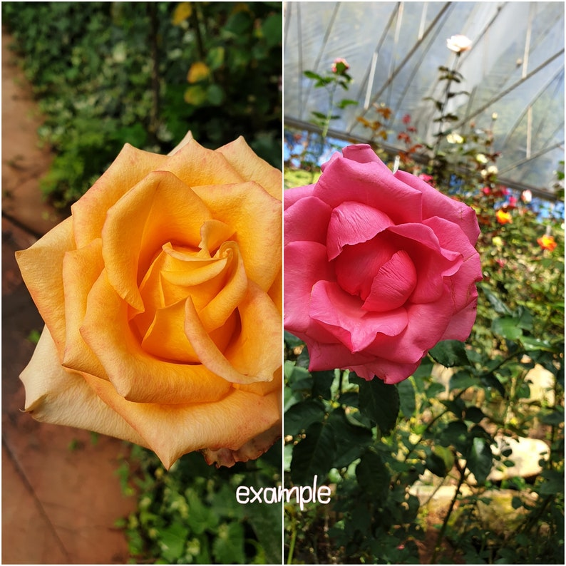 Raw file of close-up Rose photo in pink and yellow colors