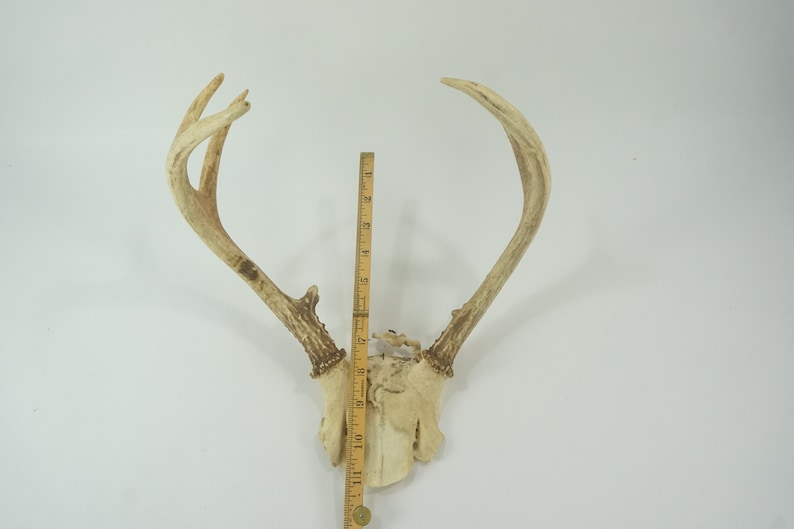 7 Pts 11 Spread Lot 187 Mature Taxidermy White Tail Antlers Deer Antlers Organic Wreath Supply FREE SHIP Rustic Cabin Mountain Decor