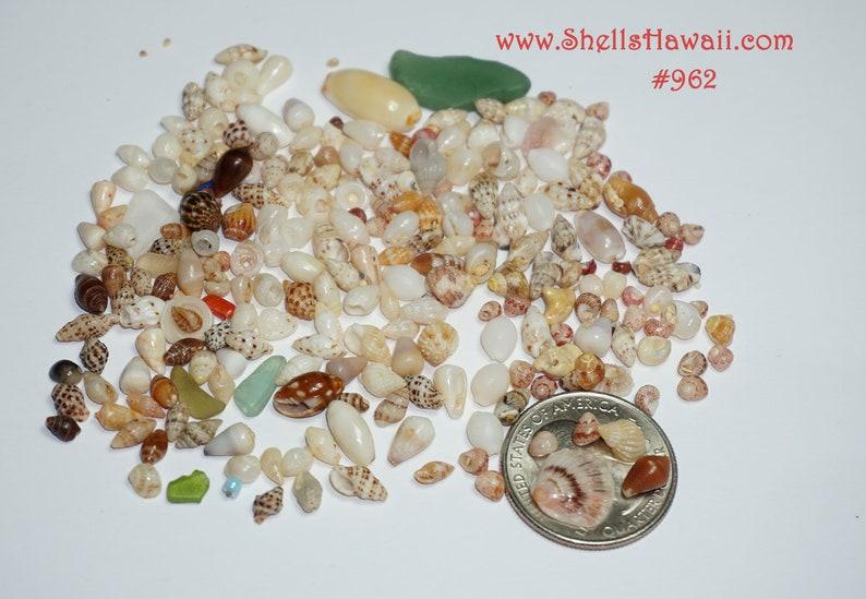 12 film canister of Mix Hawaiian seashells from Niihau #962