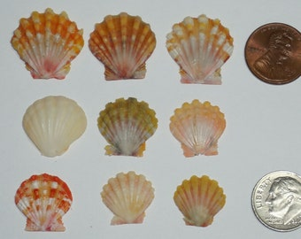 Set of 9 Hawaiian Sunrise shells Lot #010