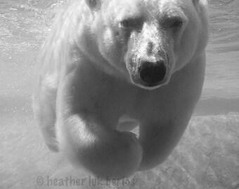 Polar Bear Photography -  Animal Wall Decor - Canadian North American Nature Photography