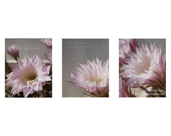 Set of 3 - Pale Pink Cactus Flower Photography 8x10 - Wall Decor - Fine Art Photography Print
