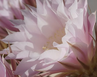 Pale Pink Cactus Flower 3 Photography 8x10 - Wall Decor - Fine Art Photography Print