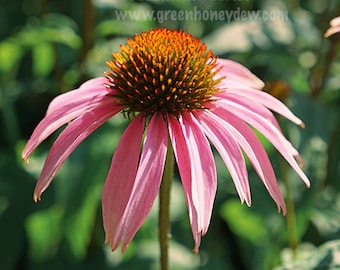 Pink Echinacea - Wall Decor - Fine Art Photography Print, Flower, Floral, Beautiful, Nature, Pretty, Magenta
