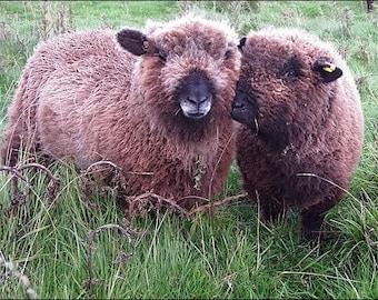 COLOURED RYELAND washed rare breed fibreo