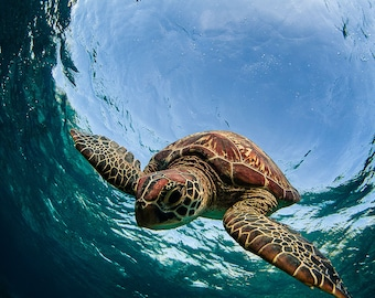 Sea Turtle Diving Underwater - Sea Turtle Portraits - Sea Turtle Photo Collection - Large Wall Art - Ocean & Beach Decor