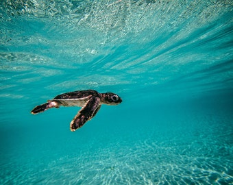Baby Green Sea Turtle, Blue Water - Baby Sea Turtle Photo Collection - Large Wall Art - Ocean & Beach Decor