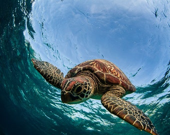 Sea Turtle Diving Underwater - 16x24 inch (40.64 x 60.96 cm) -DIGITAL DOWNLOAD - Sea Turtle Collection - Sea Turtle Art - Blue Wall Decor