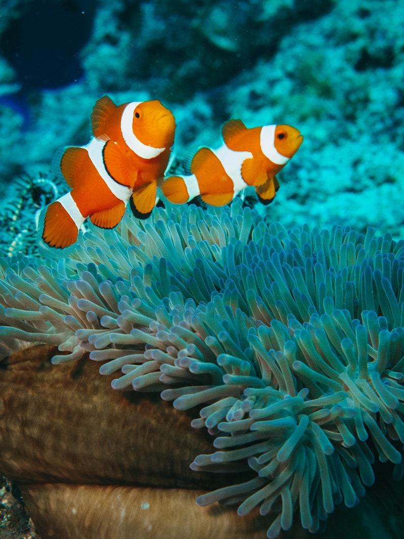 Orange Clown Fish and Coral Reef - Clown Fish Art - Underwater Photography  - Clown Fish Print - Finding Nemo Decor - Ocean Photography