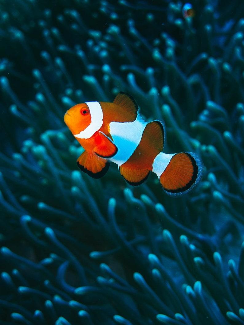 Clown Fish and Electric Blue Anemone - Clown Fish Art - Underwater  Photography - Clown Fish Print - Finding Nemo Decor - Ocean Photo