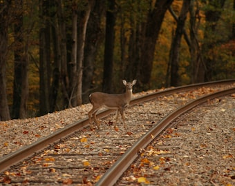 Deer on Railroad tracks