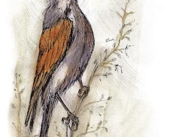 jay, wild bird, small bird, thrush, wildlife, original pen and watercolour painting
