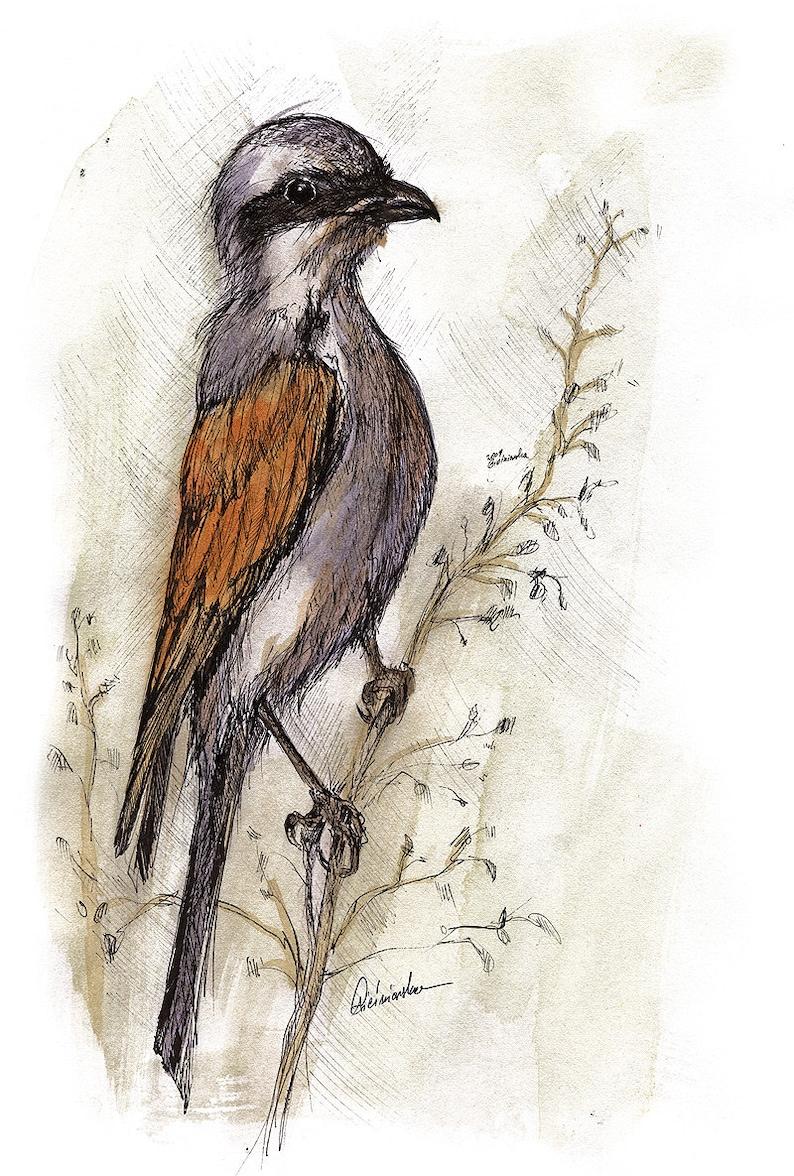 jay wild bird small bird thrush wildlife original pen and image 0