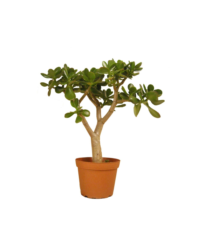 Jade Plant Succulent Crassula Ovata 16 To 18 Tall Etsy