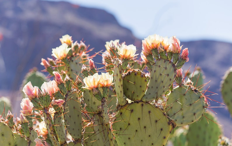 ad35320acee Cactus print prickly pear cactus texas photography cactus   Etsy