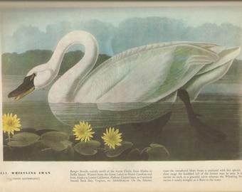 animals animal prints birds bird prints wildlife prints Bewick\u2019s Swan swan wildlife