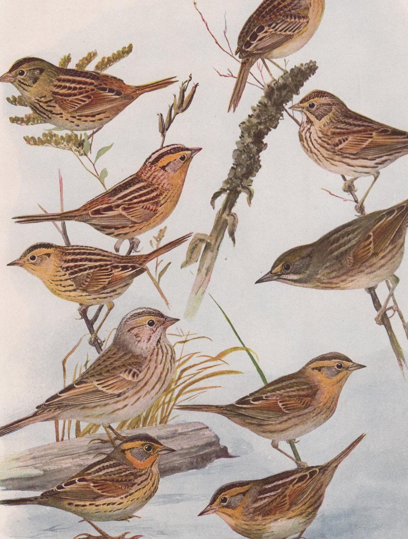 "1936 Vintage FUERTES BIRDS #83 /""FIELD SPARROW FOX SPARROW Color Plate Lithograph"