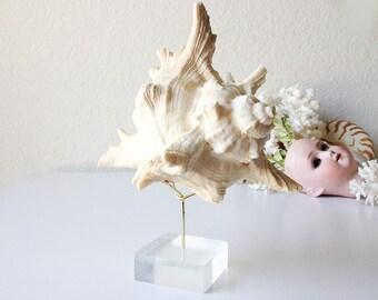 Vintage shell on lucite stand seashell display murex shell specimen modern base