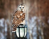Barred Owl Picture, Owl Photography, Owl Photo, Hunting Owl, Barred Owl Print, Owl Note Card, Barred Owl Art, Barn Owl, Nature Photography