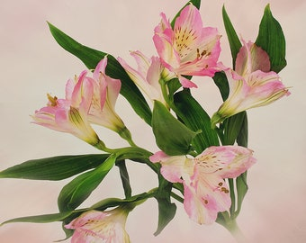 Baby Pink Peruvian Lily,  Alstromeria, Lily of the Incas, Macro Flower Print, Floral Wall Art, Home Office Decor Photography, Nursery Decor
