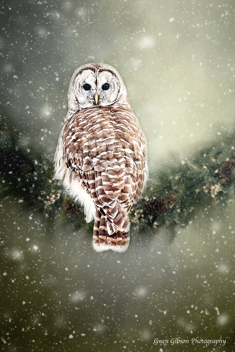 Barred Owl Photo Wildfowl in the snow Owl Photography image 0
