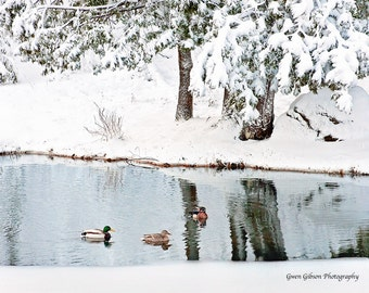 Duck Photo, Duck Wall Art, Ducks in Pond, Duck Wall Decor, Winter Pond, Wood Duck Print, Swimming Duck, Mallard Duck Print, Drake Duck