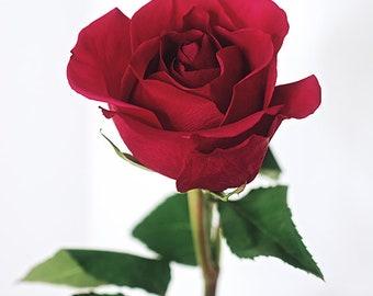 Single Stem Red Rose Photo, Rose Fine Art Print, Romantic Art Bedroom, Floral Wall Art, Rose Decor, Macro Flower Print, Garden Room Decor