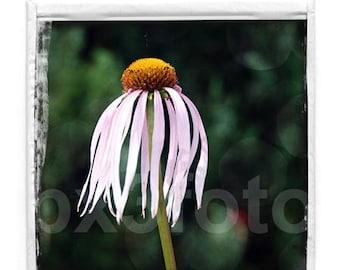 Daisy flower Polaroid 02 - Spring flower art photo print