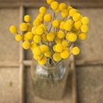 Dried Billy Balls 2019 Crop, Dried Craspedia, Dried Flowers, Billy Balls Yellow, Yellow Drumsticks, Vase Filler Flower, Yellow Gold