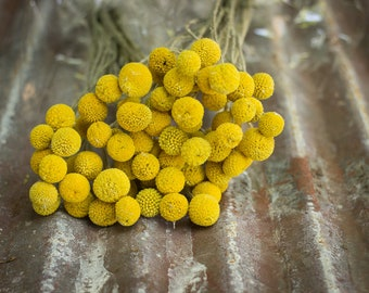 Dried Billy Balls, Orange Billy Balls, Dried Craspedia, Dried Flowers, Billy Balls Yellow, Yellow Drumsticks, Vase Filler Flower