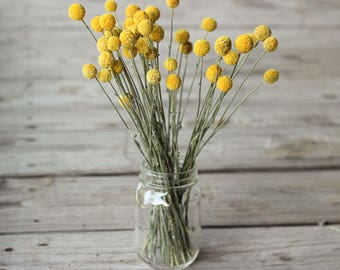 2018 Crop Dried Billy Balls, Dried Craspedia, Dried Flowers, Billy Balls Yellow, Yellow Drumsticks, Vase Filler Flower, Yellow Flower Stems