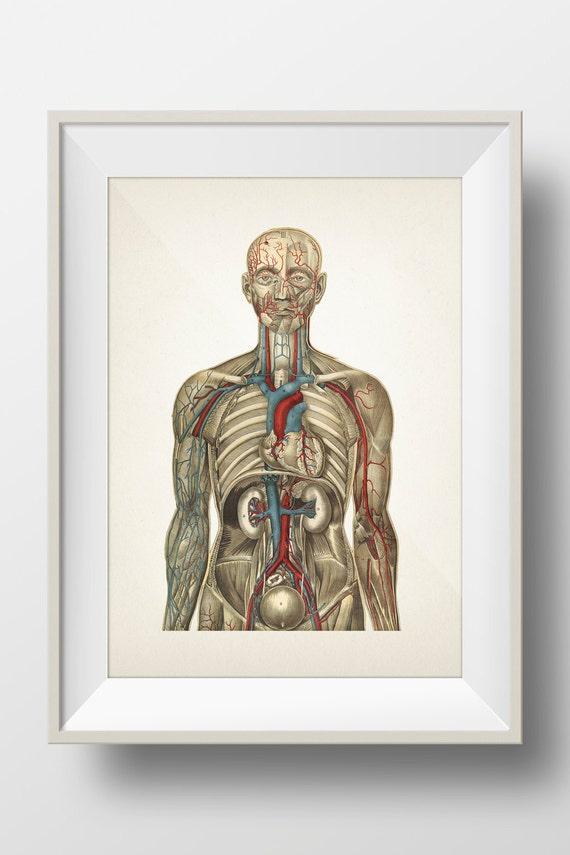 Human Anatomy Circulatory System Hu 03 Fine Art Prints Of Etsy