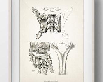 Diplodocus Bones - DI-11 - Fine art print of a vintage natural history antique illustration - 8x10 11x14 12x18 13x19