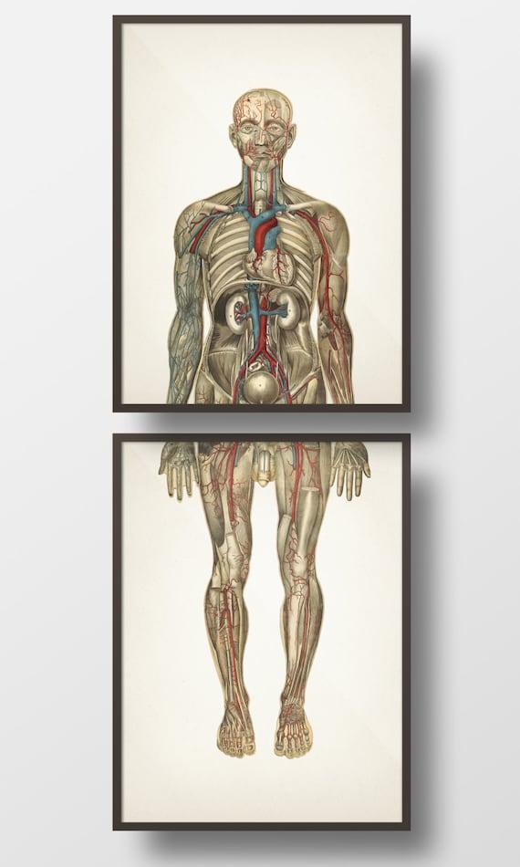 Human Anatomy Circulatory System Front Pair Hu 03 Hu 04 Etsy