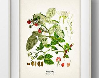 Vintage Raspberry Print - KO-08 - Fine art print of a vintage natural history antique illustration