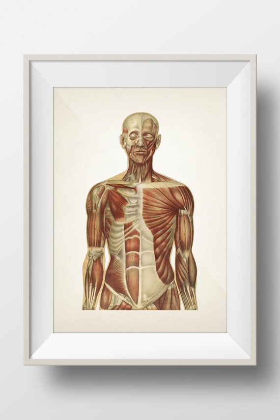 Human Anatomy Muscle System Hu 06 Fine Art Prints Of A Etsy