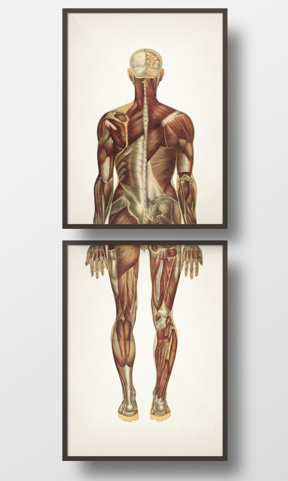 Human Anatomy Muscle System Back Pair Hu 16 Hu 17 Fine Etsy