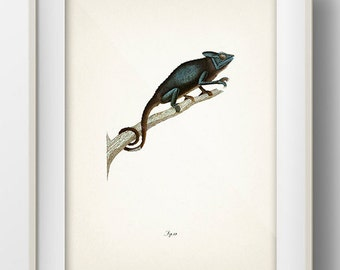 Chameleon 1 - RE-04 - : Fine art print of a vintage natural history antique illustration. 8x10 11x14 12x18 13x19