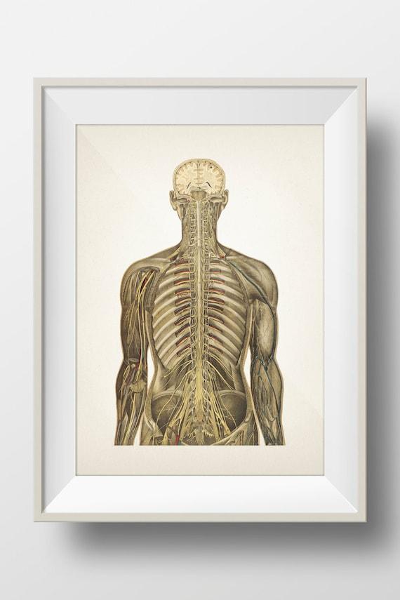 Human Anatomy Circulatory System Back View Hu 12 Fine Art Etsy