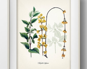 Forsythia (Forsythia Suspena) - JF-03 - Fine art print of a vintage natural history antique illustration,
