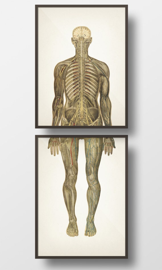Human Anatomy Circulatory System Back Pair Hu 13 Hu 14 Etsy