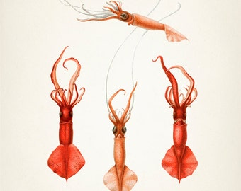 Mastigoteuthis Squid - OC-21 Fine art print of a vintage natural history antique illustration