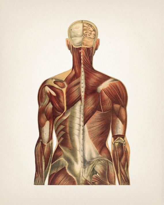Menschliche Kunstdrucke Anatomie Muskel System zurück View | Etsy
