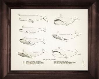 Whale Specimen Drawing - SC-12 - Fine art print of a vintage natural history antique illustration