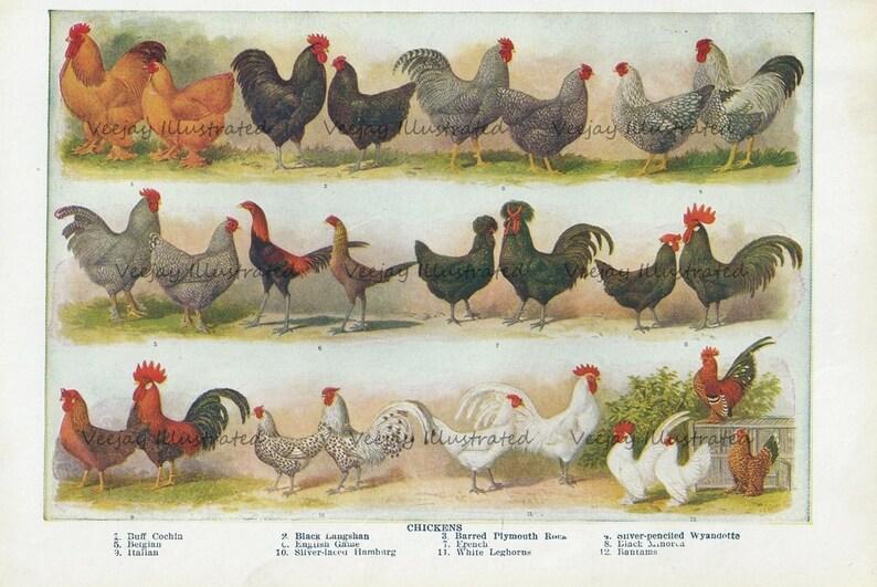 1940s Chicken Illustration, Chicken Breed Chart, Vintage Book Illustration