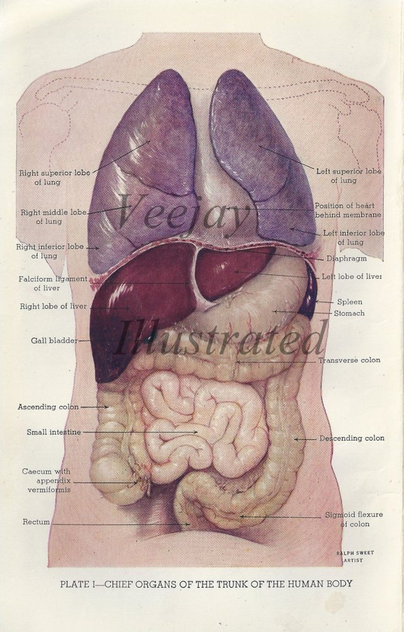 Chief Organs Of The Trunk Of The Human Body 1940s Medical Etsy