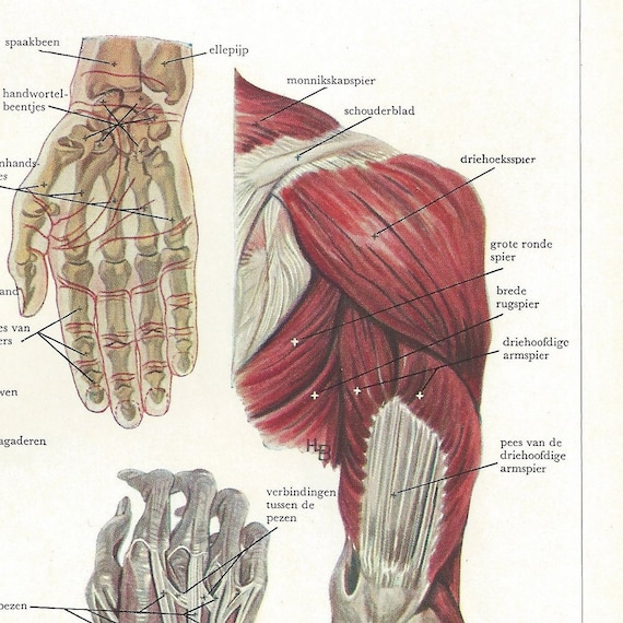 1940s Anatomy Of The Arm Medical Illustration Vintage Book Etsy